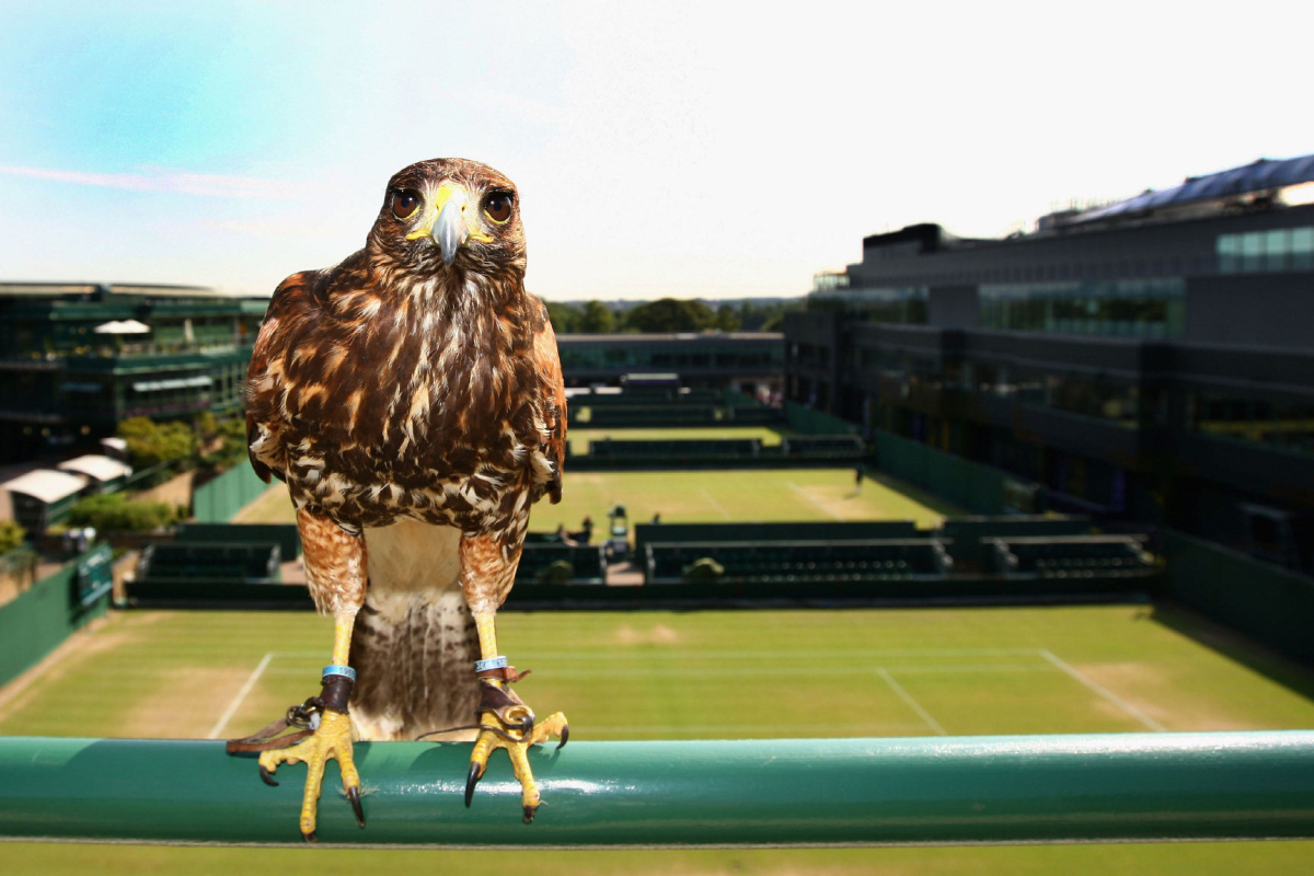 Rufus the Hawk Wimbledon